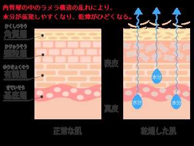 表皮の水分と油分の構造